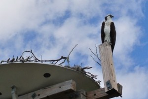 Oscar the Osprey Welcomes You To Indian Rocks Beach